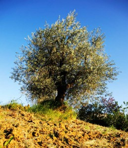 Frantoio a Fèlsina - Olio di Oliva