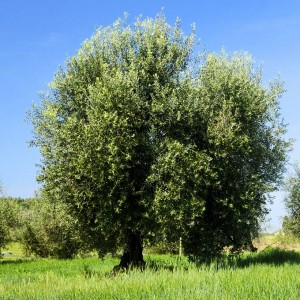 Frantoio a Fèlsina - Ulivi
