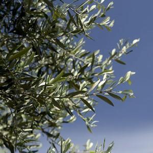 olive_q